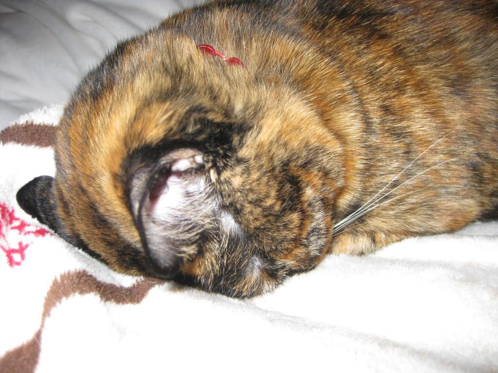 ごめんね ごめん寝 すまん寝 ゆるして寝 猫 ねこ ネコ サビ猫